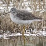 Greater Yellowlegs, a rare vistors that was seen at the beautiful Loch Fleet.
