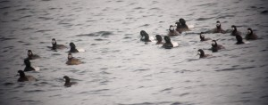 Scaup males and females