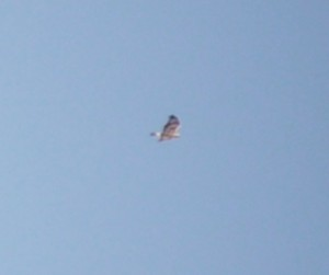 Once again the Distant Rough Legged Buzzard, this time showing pale rump.