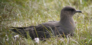 Dark Phase Arctic Skua