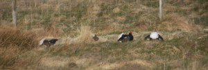 Black Grouse in full fight mode