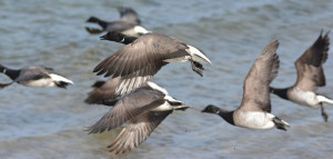 Brent Geese, Photo by David Burliegh