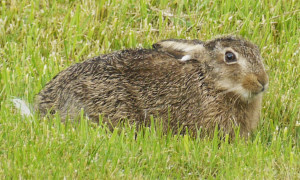 Brown Hare - Ears Down