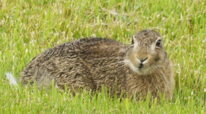 Brown Hare - Ears Off!