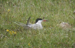Common Tern on nest