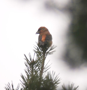 Crossbill showing the amazing colour to its rump.
