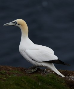 The Gannet (check out the feet!)