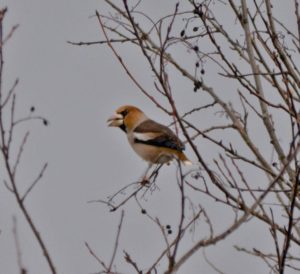 Hawfinch at Nethybridge,