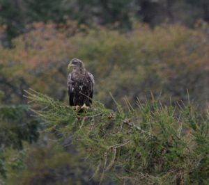 White Tailed Eagle - Sub Adult