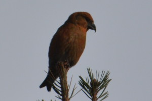 Male Crossbill, picture by David Burliegh