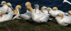 Gannets, getting aquainted