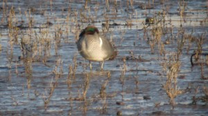 A dozing Green Winged Teal.