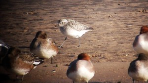 Grey Plover with Wigeon
