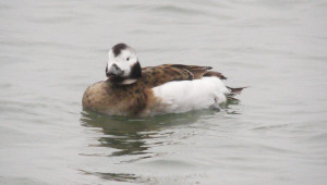 Long Tailed Duck (female)