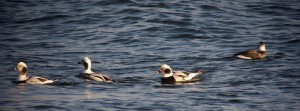 Long Tailed ducks