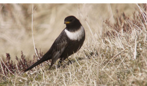 Ring Ouzel (male)