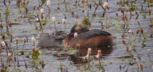 Slavonian Grebe plus Chick