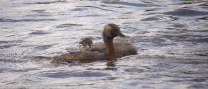 Slavonian Grebe tending a chick