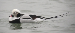 Sleeping Long Tailed Duck (Male)