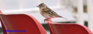 Brambling hitching a ride on the Calmac Ferry