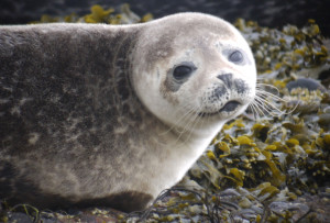 "The ""awwwwww"" factor a smiling Common Seal!"