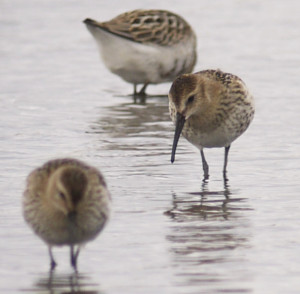 Nice little group of Dunlin showing the very narrrow depth of field when digiscoping