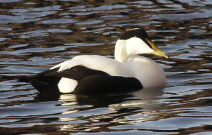 A Stunning Male Eider Duck