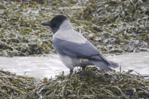 Hooded Crow  Hybrid- Alturlie Inverness