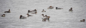 Moulting Red Breasted Mergansers