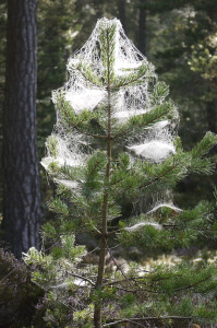 Web draped Conifer