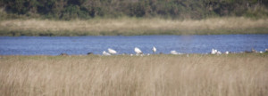 Three Spoonbills (the taller white blobs!)