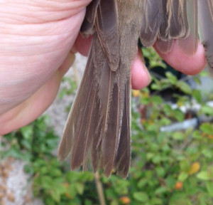 Whitethroat tail showing heavy wear.