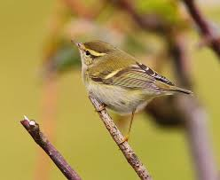 Yellow Browed Warbler, a real possibility on todays trip.