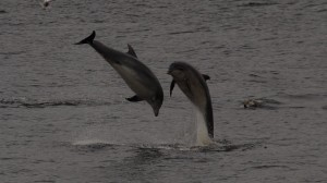 Bottled Nosed Dolphins say hello to Birding Ecosse