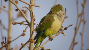 The ever present Monk Parakeet