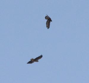 Golden Eagle about to dive on the White tailed Eagle