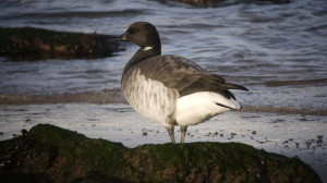 Pale Bellied Brent Goose