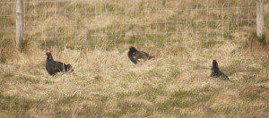 Chilled out Black Grouse!