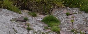 Common Tern on nest