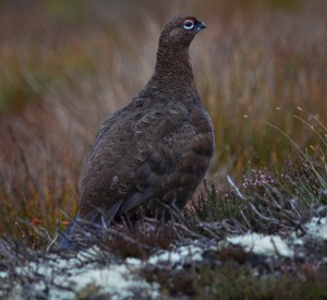 Red Grouse