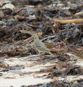 Very olive coloured Rock Pipit