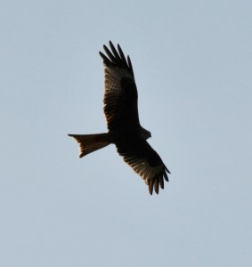 Back lit Red Kite