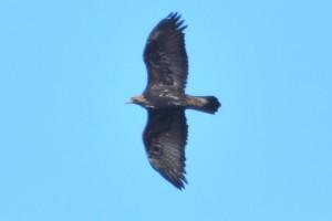 Golden Eagle by David Burleigh