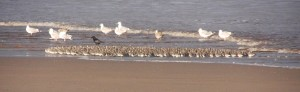 Roosting flock of Knot
