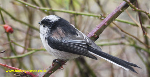 Lynda's favourite bird Long Tailed Tit (also Lynda's picture!)
