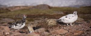 Ptarmigan (male left, female right)