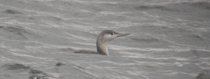 Red Throated Diver in Winter Plumage