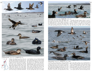 Scoters double page