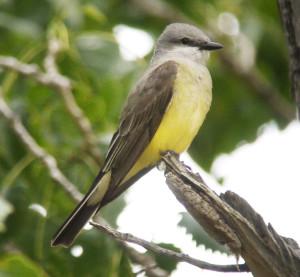 Western Kingbird. Grassylake, Alberta.