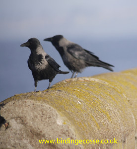 One of the many mongrel crows we have in Moray.